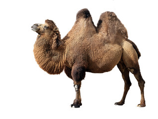 Photo sur Plexiglas Chameau Bactrian camel