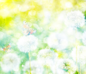 fluffy dandelion flowers on a background of the spring landscape