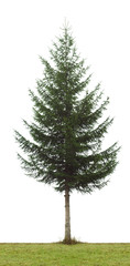 green pine tree on  white background