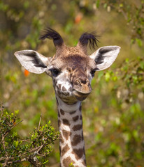 Adorable baby giraffe looking silly with black head tufts