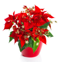 Red flower poinsettia with golden christmas decoration