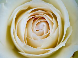 白いバラのマクロ