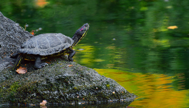 Turtle sitting quietly on top of a rock