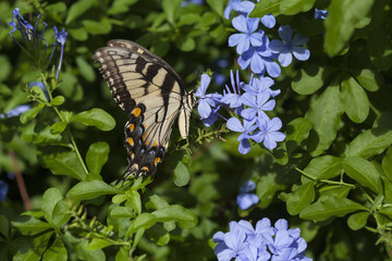Female Eastern Tiger Swallowtail Butterfly On Plumbago