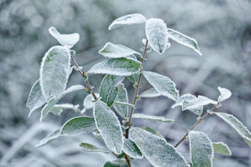 Tree branches covered with frost. Green leaves in frost. Frost froze the leaves on the tree. Textures for design. Natural background
