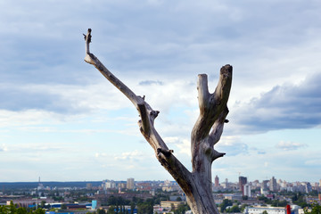 dead tree against a beautiful blue cloudy sky and urban developm
