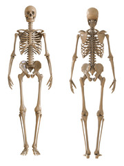 Skeleton front and rear view. Plastic layout of the human skeleton on white background. 3d illustration.