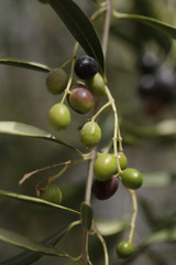 natural diet - small olives on a tree