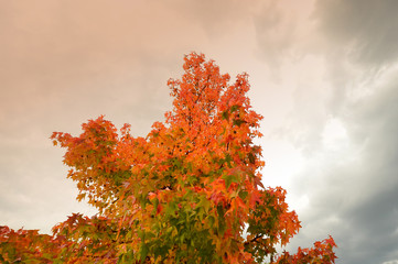 red maples in autumn