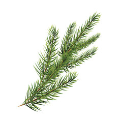 branch of pine tree. Spruce, pine, fir. Christmas tree.