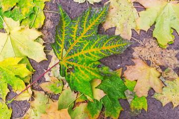 Background of colorful fallen maple leaves on asphalt