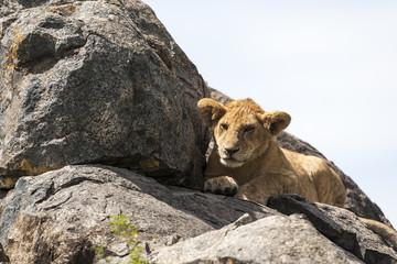 Foto op Aluminium Puma Lion cub