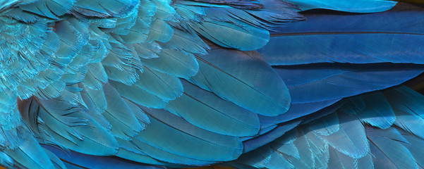 Photo sur Aluminium Les Textures Colorful of blue and gold bird's feathers, exotic nature background and texture ,macaw feathers, wing macaw