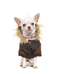 White chihuahua dog wearing a brown winter coat sitting and facing the camera isolated on a white background