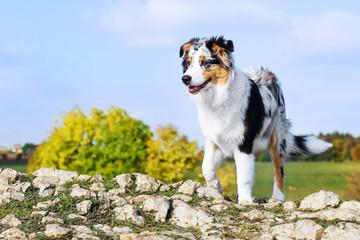 Australian shepherd on the hill