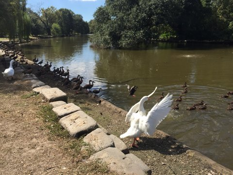 white peking duck in Audubon Park in New Orleans makes beautiful