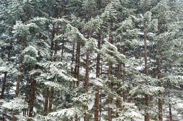 winter taiga forest under snowfall wallpaper background
