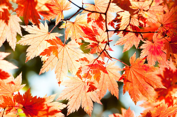 red yellow fall maple leafs illuminated by sun natural backgroun