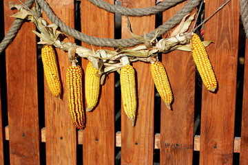 Rural farm natural organic autumn yellow decoration garland from dry maize corn on wooden background country style decor