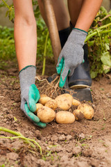 Harvesting Potatoes. Female Farmer Hold Heap Fresh Potato In Her Hand Close To Ground. Fresh Potato. Harvest Time, Season.