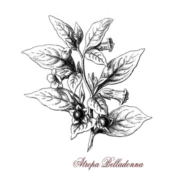 Belladonna or deadly nightshade is a herbaceous plant widely distributed. Leaves and berries are extremely toxic.