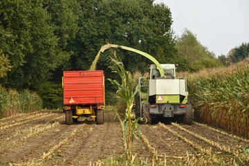 A forage harvester is busy harvesting cultivated fodder maize plants in the autumn season.