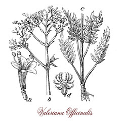 Valerian, botanical vintage engraving.Valerian is a flowering plant with cluster of pink or white flowers sweet scented. It is considered a medicinal herb.