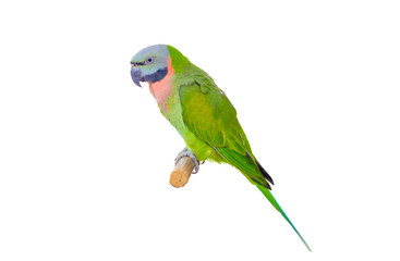 green parrot isolated