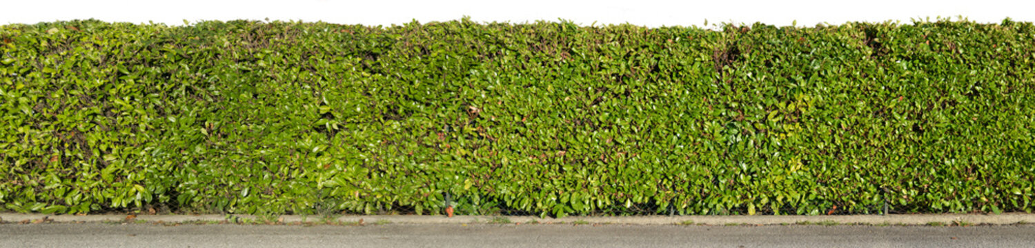 Green hedge isolated on white background
