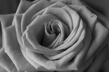 Detailed black and white photography of rose
