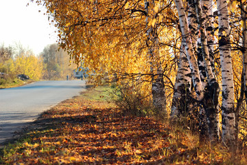 Golden birch leaves in the sunlight grow along road