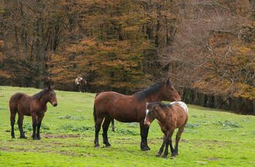 Cavalli selvaggi al pascolo