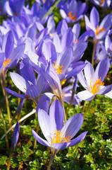 Saffron or Crocus sativus violet flowers