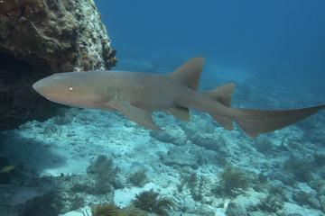 Underwater Nurse Shark in the Florida Keys