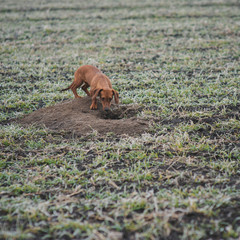 Dog breed dachshund while hunting outdoors in winter morning