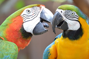 Kiss me Macaw Love