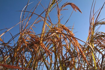 Harvest Golden yellow Ear of rice in Chiang Rai, Thailand in Blue sky Background