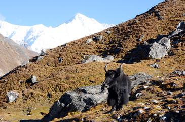 Hiking in Khumbu Valley in Himalayas mountains, Gokyo peak trek, Nepal. Powerful mountain bull - yak.