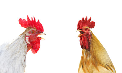 two colorful rooster sings duet beaks, on a white isolated background