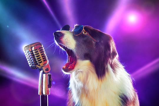 Rockstar border collie dog singing into a microphone