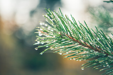 fir dew. Pine tree with morning dew on the twig, abstract natura