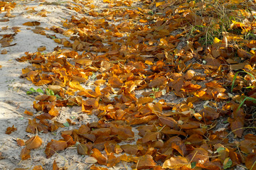 Autumn dirt road strewn with yellow sand dry autumn leaves. Brig
