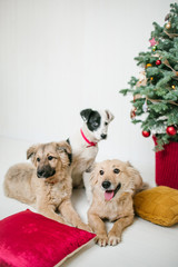 Cute puppy dogs near decorated Christmas tree in studio