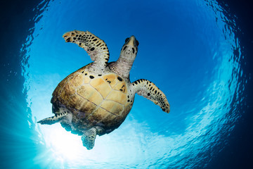Hawksbill Turtle Swimming in Blue Water