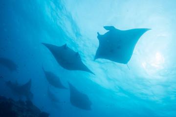 School of manta ray