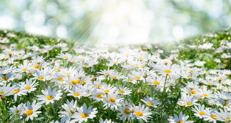 field of daisy flowers with sun light