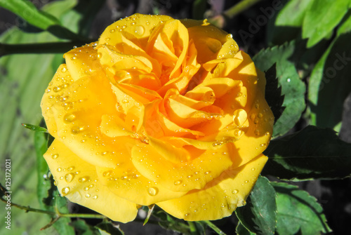 yellow roses with water drops - photo #40