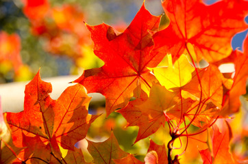 Heaps of sugar maple red and yellow leaves  - 2