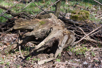 Baumwurzelstumpf im Wald