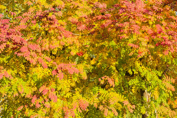 Background of rowans branches with varicolored leaves in autumn